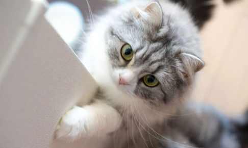 【英語】これだけは知っておくべき猫種に関する英単語一覧
