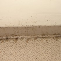 bed bug feces on baseboard