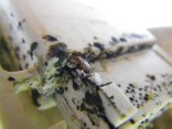 bed bugs and eggs 2