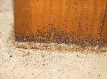 bed bugs and fecal spotting on wooden furniture
