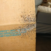 bed bugs, eggs, and feces on cardboard box 2