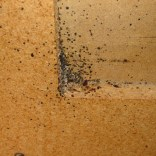 bed bugs on the underside of furniture