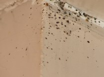 fecal spotting and bed bugs on wall
