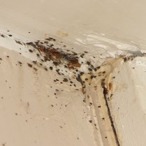 fecal spotting and bed bugs on wall2