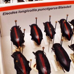 Attractive darkling beetles in the genus Eleodes (family Tenebrionidae)