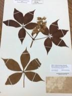 Leaves of common buckeye tree at the Herbarium