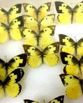 Dogface butterflies in the Parshall collection