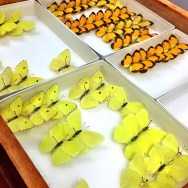 Sulphur butterflies in the parshall collection