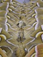 Saturniidae moths