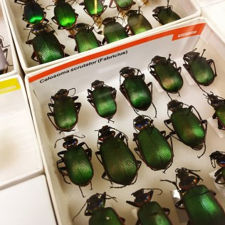 Ground beetles (Carabidae)