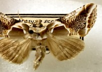 Many of the Treat moth vouchers are beautifully mounted and very well preserved.
