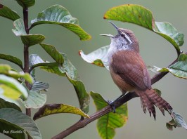 Plain Wren, photo by Jorge Eduardo Chinchilla Arroy (from Cornell Neotropical Birds)