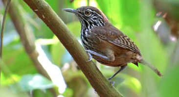 Stripe-breasted Wren, photo by Jose David Sigüenza Leiva