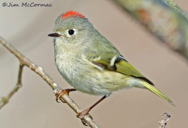 Ruby-crowned Kinglet. Photo by Jim McCormac