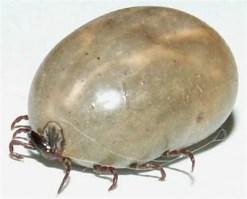 engorged female tick
