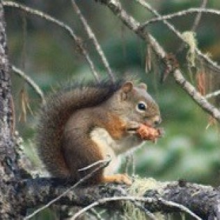 Red squirrel eating seeds from a lodgepole pine cone