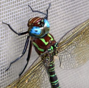 Close-up of dragonfly on window screen in Columbus, Ohio.