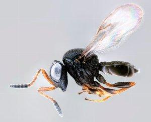 samurai wasp, Trissolcus japonicus