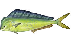 Common Dolphin Fish, or Mahi-mahi
