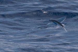 Flying Fish above water