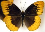 Beautiful specimen in the Dave Parshall Butterfly Collection.