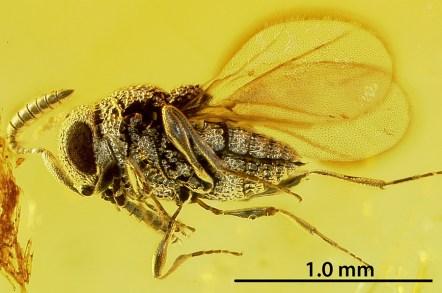 Archaeoscelio filicornis Brues