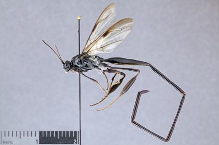 image of P. polyturator