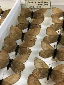 Oeneis melissa semidea, aka Melissa Arctic butterfly