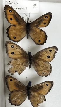 Oeneis nevadensis, aka Great Arctic butterfly