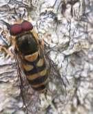 Hoverfly(Syrphidae)