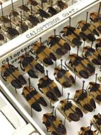 Beetle specimens, as Joe Knull arranged them, detail