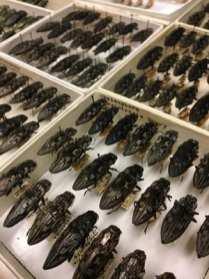Joe Knull was a specialist in wood boring beetles, like these buprestids