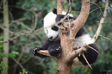 1200-492626939-baby-panda-on-tree