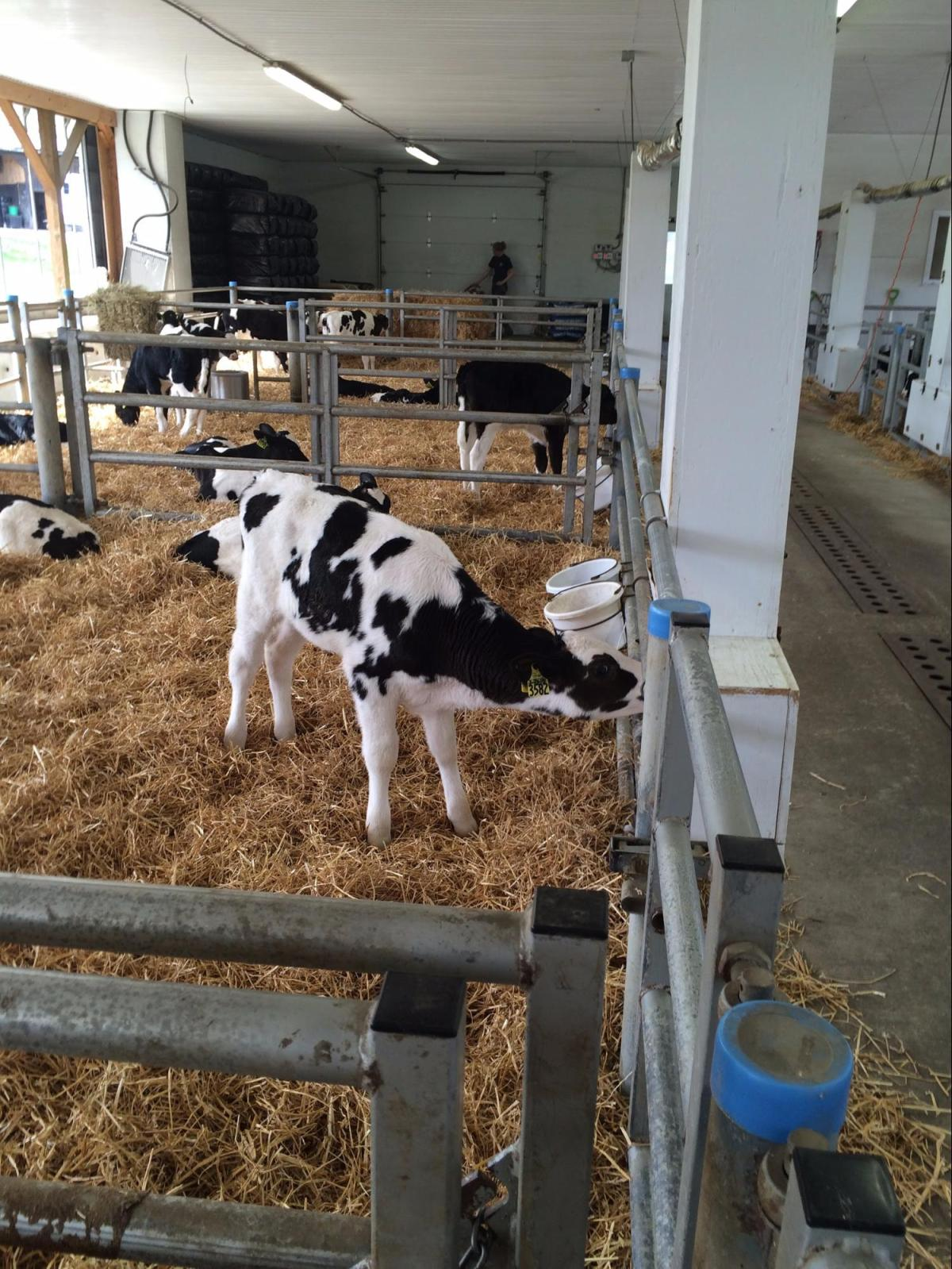 A calf drinks milk in Fairmont's new calf barn. Fresh whole milk in provided 24/7