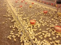 Chicks on day one finding the water lines