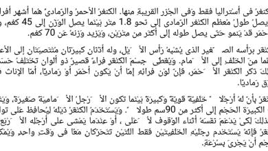 Photo of ورقة عمل القراءة نص (الكنغر) اللغة العربية للصف الرابع فصل ثالث