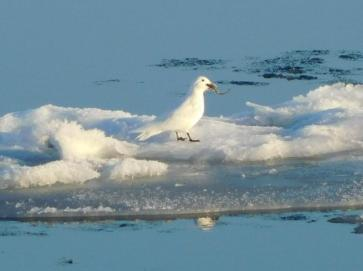 Ivory Gull.