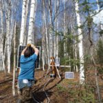 Busey adds additional solar charging capability to a hydrological and ecological monitoring site within a birch stand in Alaska's boreal forest. The site uses energy-consuming heaters to monitor sap flow in the trees. (Photo by B. Busey)