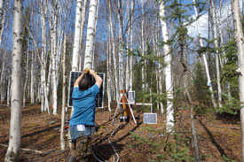 Bob Busey adds additional solar charging capability to a hydrological and ecological monitoring site within a birch stand in Alaska's boreal forest. The site uses energy-consuming heaters to monitor sap flow in the trees. (Photo by B. Busey)