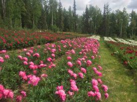Rows of peonies bloom in central Alaska.
