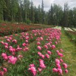 Rows of peonies bloom in central Alaska.