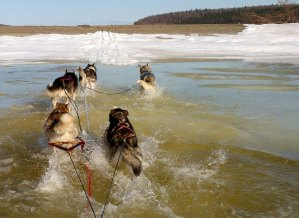 running dogs through water on a thawing lake