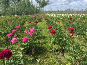 peonies in field