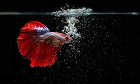 tips-bisnis-ikan-cupang