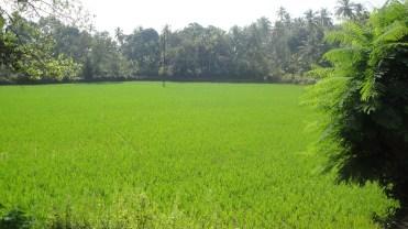 Green fields - Goa