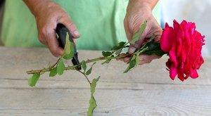 Черенки роз укоренились как сохранить до весны