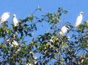 Petulu White Heron Bird