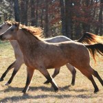 Wild Horse Over Population Is Causing Environmental Damage Green Blog Anr Blogs