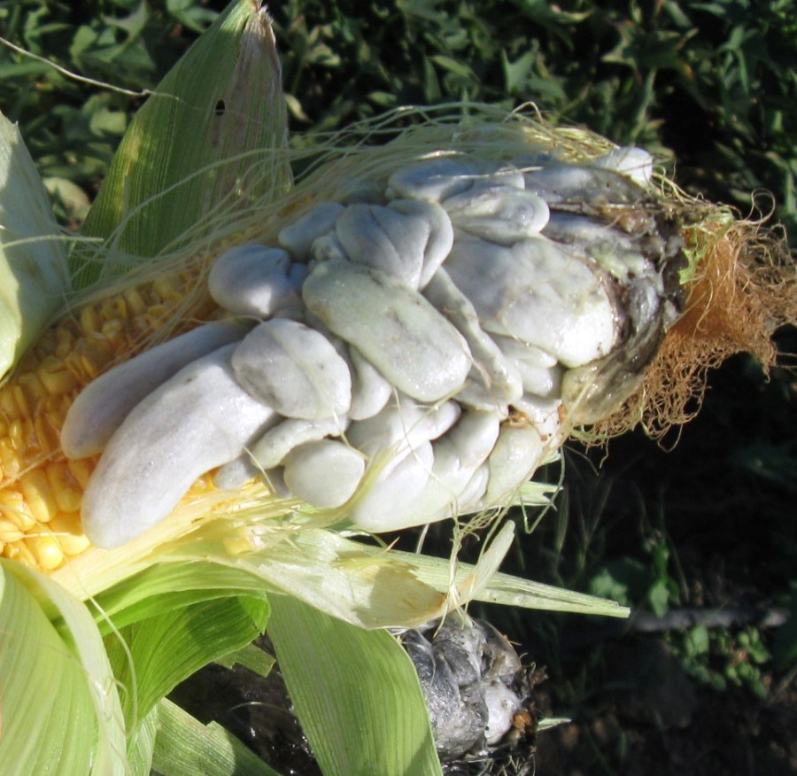 13003 original - CORN SMUT HUITLACOCHE (click image to view)