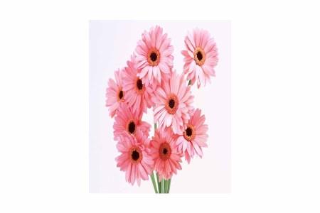 15 Pink Gerberas Bunch